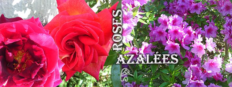 apprécier la beauté de la nature, roses et azalées du jardin